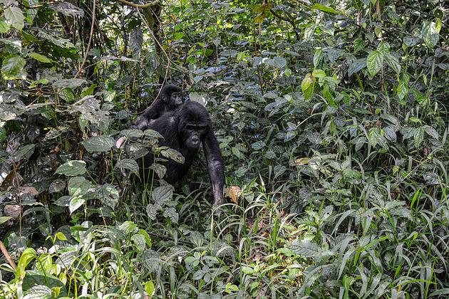 gorilla-oeganda-4
