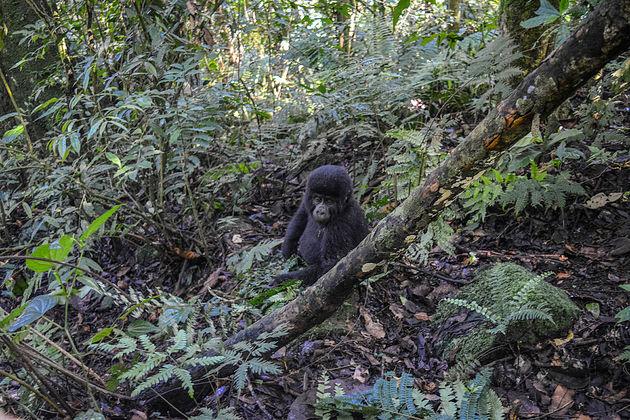 gorilla-oeganda-5