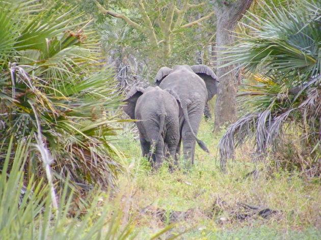 Gorongosa-NP-olifanten