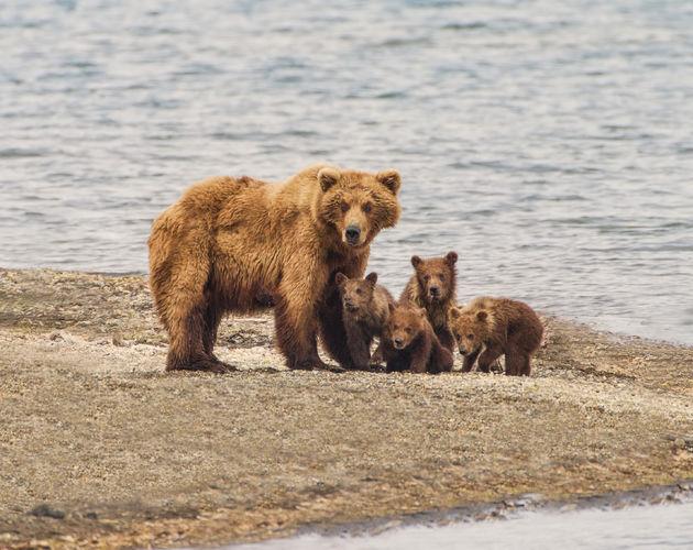 grizzlybeer-wild