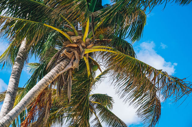 guadeloupe-palmboom