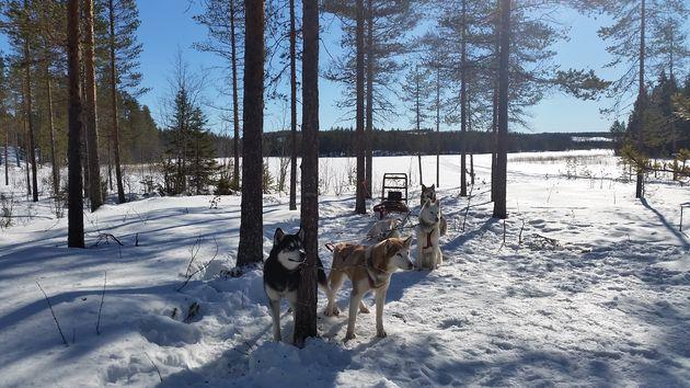 hondenslede-tocht-lapland