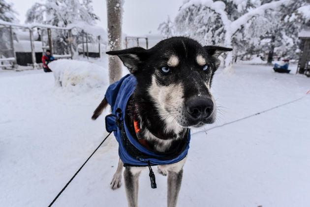 husky-hond