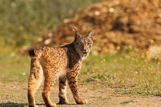 iberische-lynx
