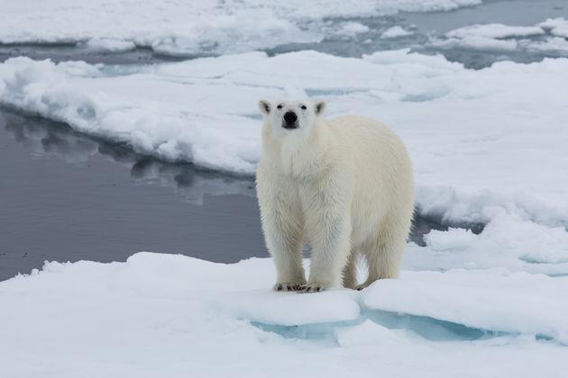 ijsbeer-wild