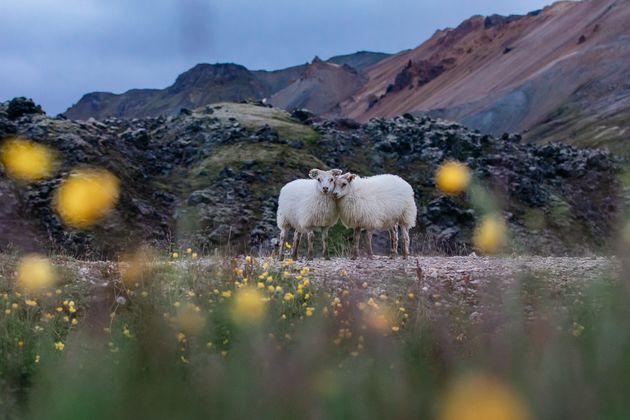 ijsland-schapen