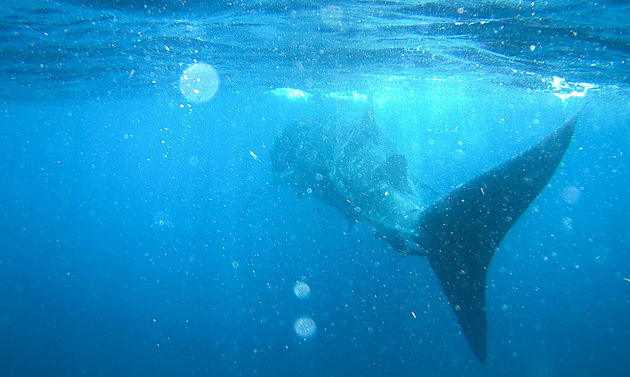 isla-holbox-zwemmen-walvishaaien