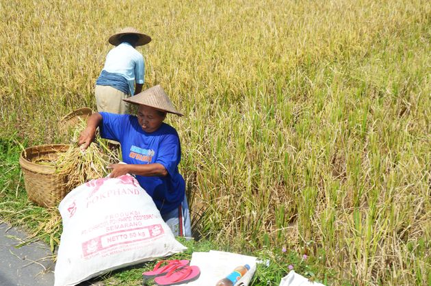 java-rijstvelden