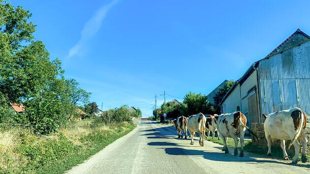 jura-koeien-weg