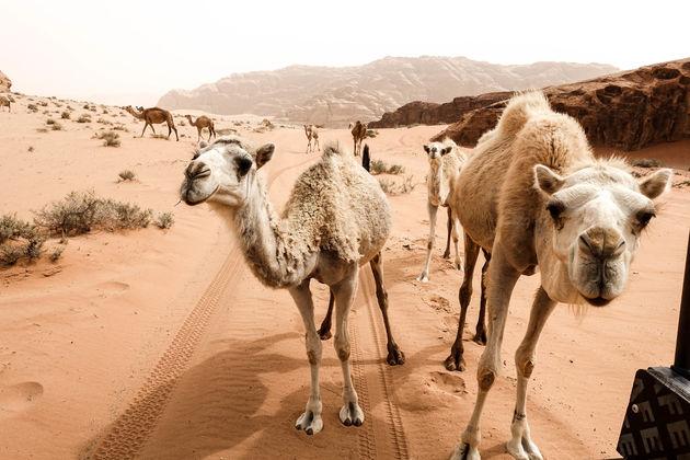 kamelen-wadi-rum