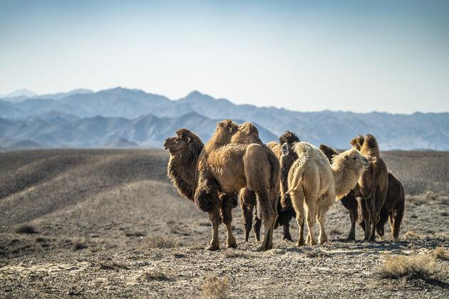Kazachstan_kamelen_National_Park