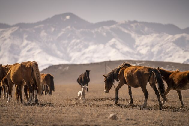 Kazachstan_paarden