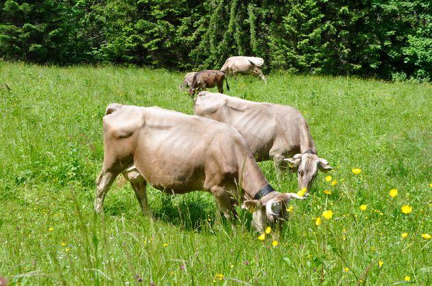 kleinwalsertal-koeien
