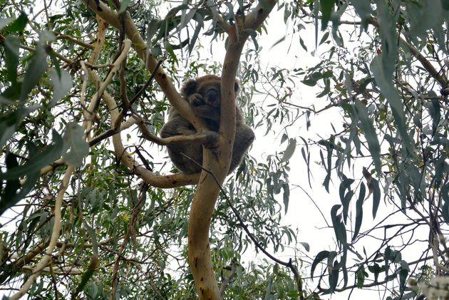 koala_great_ocean_road