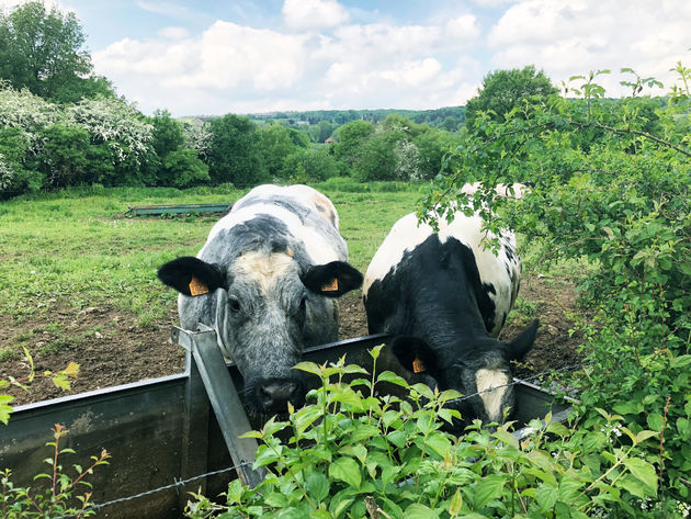koeien-durbuy