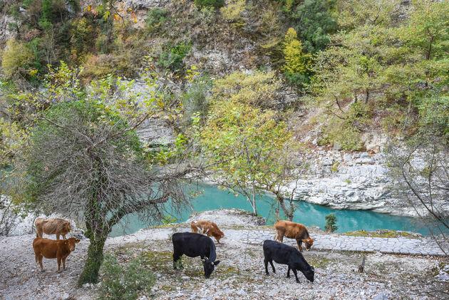 koeien-rivier-griekenland