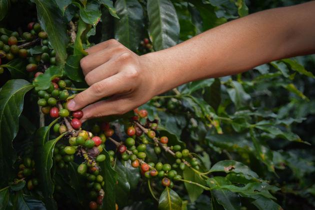 Koffieplantage-honduras-4