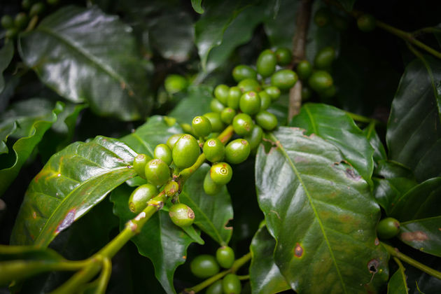 Koffieplantage-honduras-5