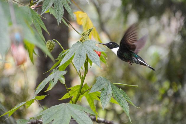 kolibrie-salento