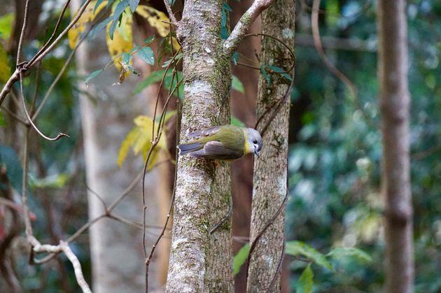 lamington-hiken-vogeltje