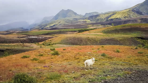 Laugavegur-trail-schaap