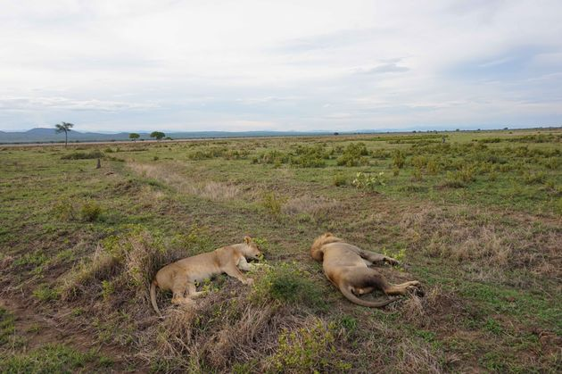 leeuwinnen-mukumi-safari