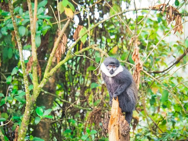 LHoest Meerkat in Nyungwe National Park Rwanda