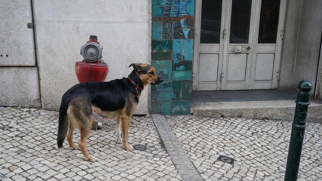 Lissabon_hond