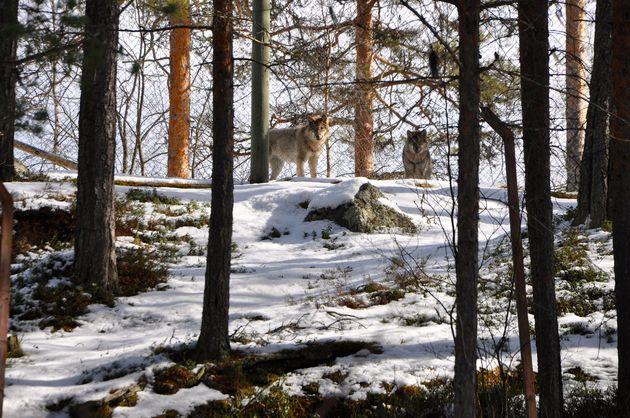 lycksele-zoo-wolven