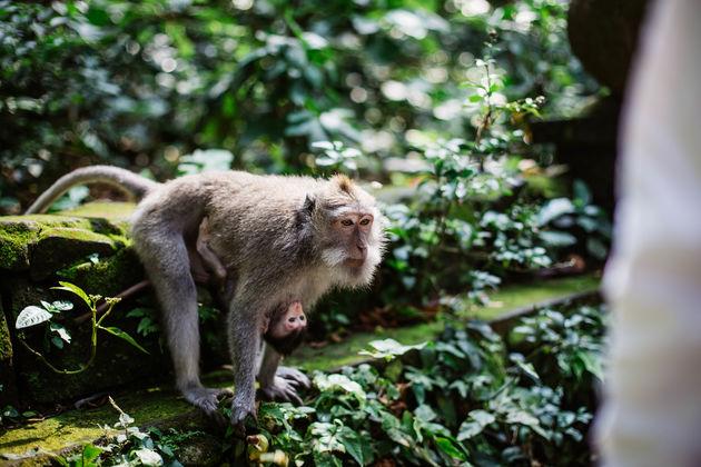 monkey-forrest-bali