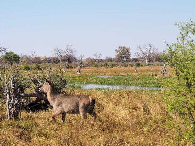 Moremi Game Reserve (5)