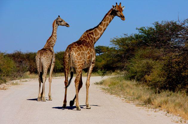 namibië-etosha