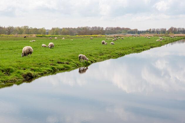 nederland-schaap