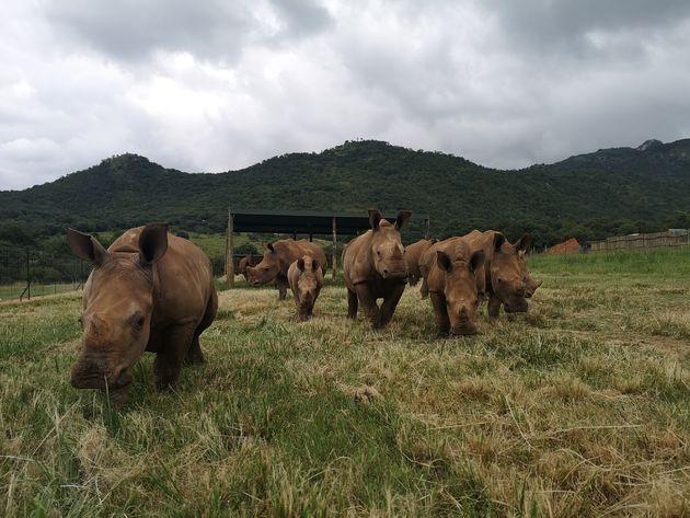 neushoorns-zuid-afrika