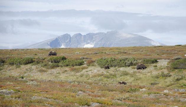 noorwegen_safari-muskusos