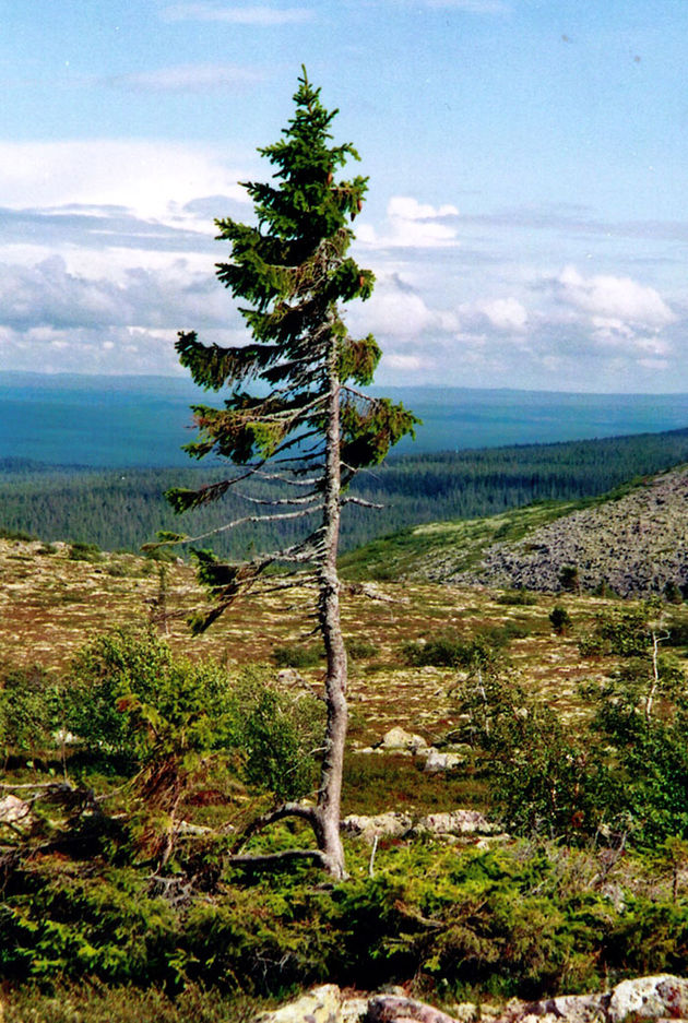 old-tjikko-oudste-boom