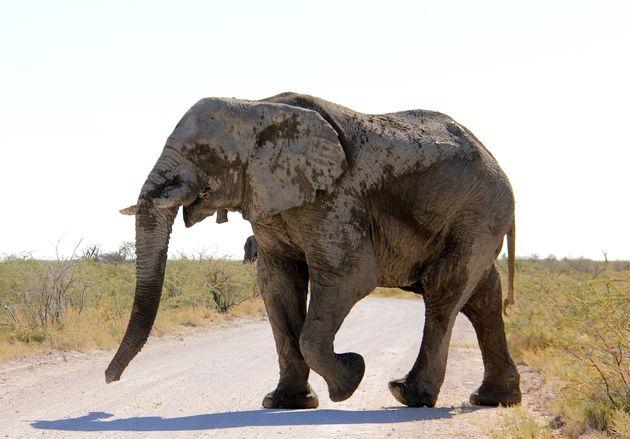 olifant-etosha