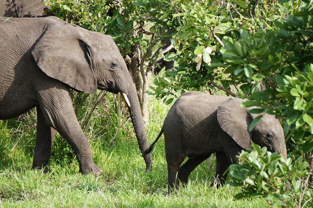 olifant-jong-mukumi-safari