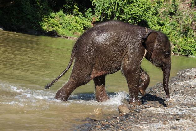 Olifant-Sumatra