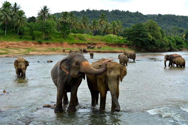 olifanten-sri-lanka- d