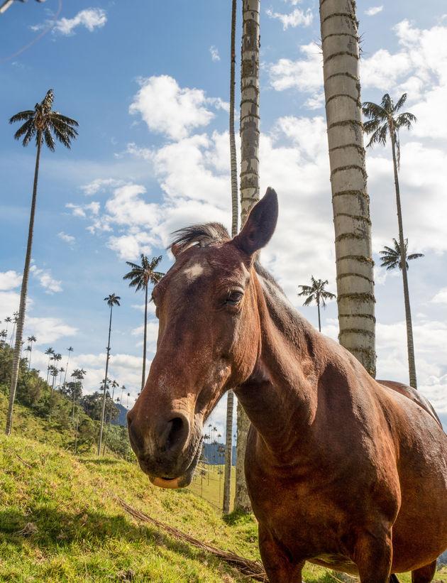 paard-cocora