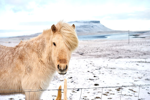 Paarden in ijsland