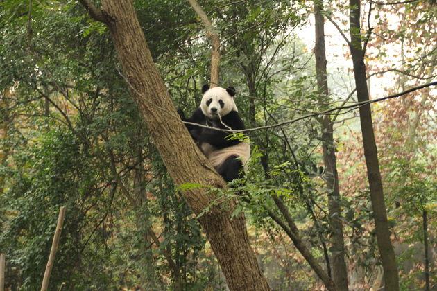 panda's-china