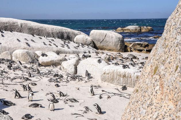 pinguinkolonie-zuid-afrika
