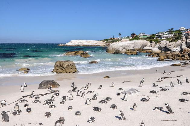 pinguins-strand-zuid-afrika