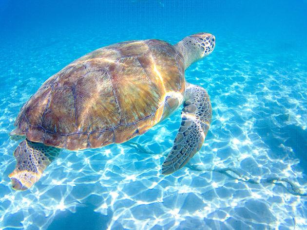 playa-grandi-schildpad