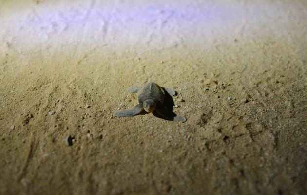 Ras-al-Jinz-babyschildpad