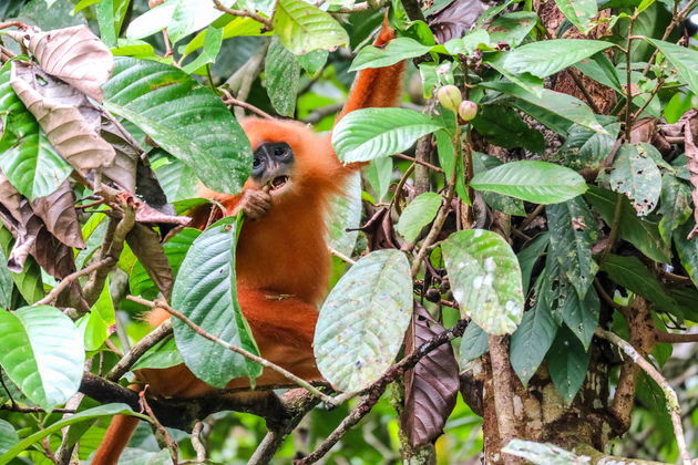 Red-leaf-monkey