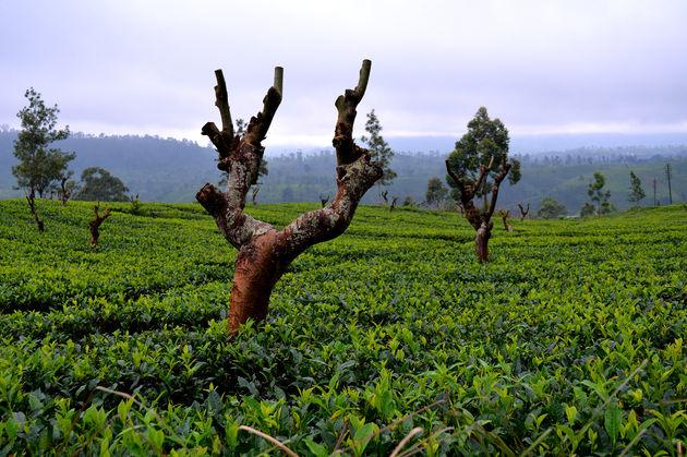 regen-theevelden-sri-lanka