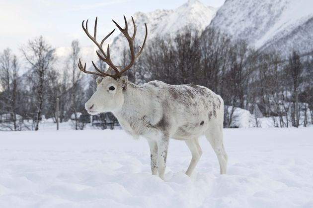 rendier-sami-noorwegen